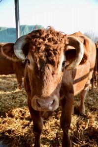 Limousin-Rind mit Hörnern