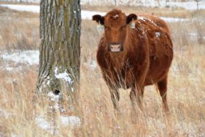 Mutterkuh mit Kalb auf der Morgan Ranch